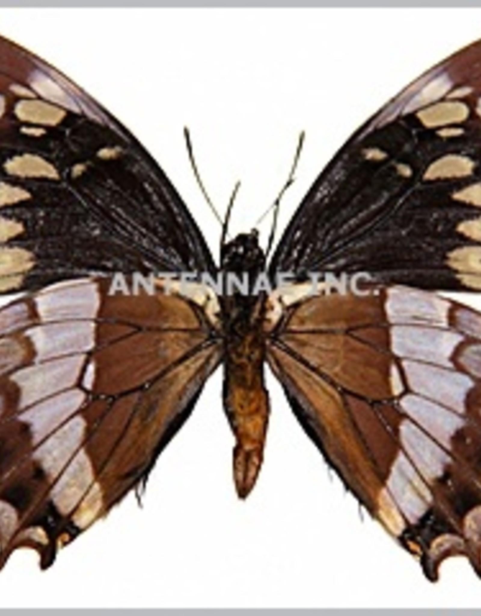 Papilio warscewiczii warscewiczi M A1 Bolivia