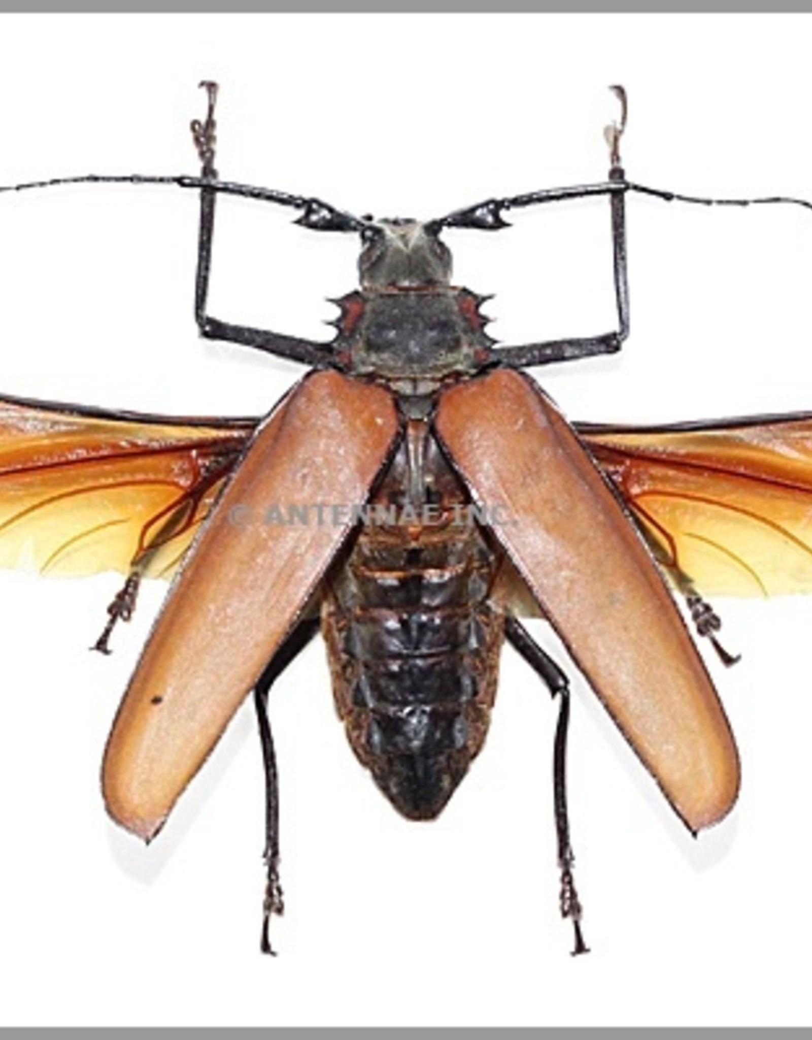 Callipogon (Enoplucerus) armillatus PAIR A1 Peru 8.6-9.0 cm