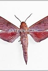 Phylloxiphia bicolor M A1 Cameroon