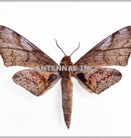 Platysphinx constriglis vicaria M A1 Cameroon