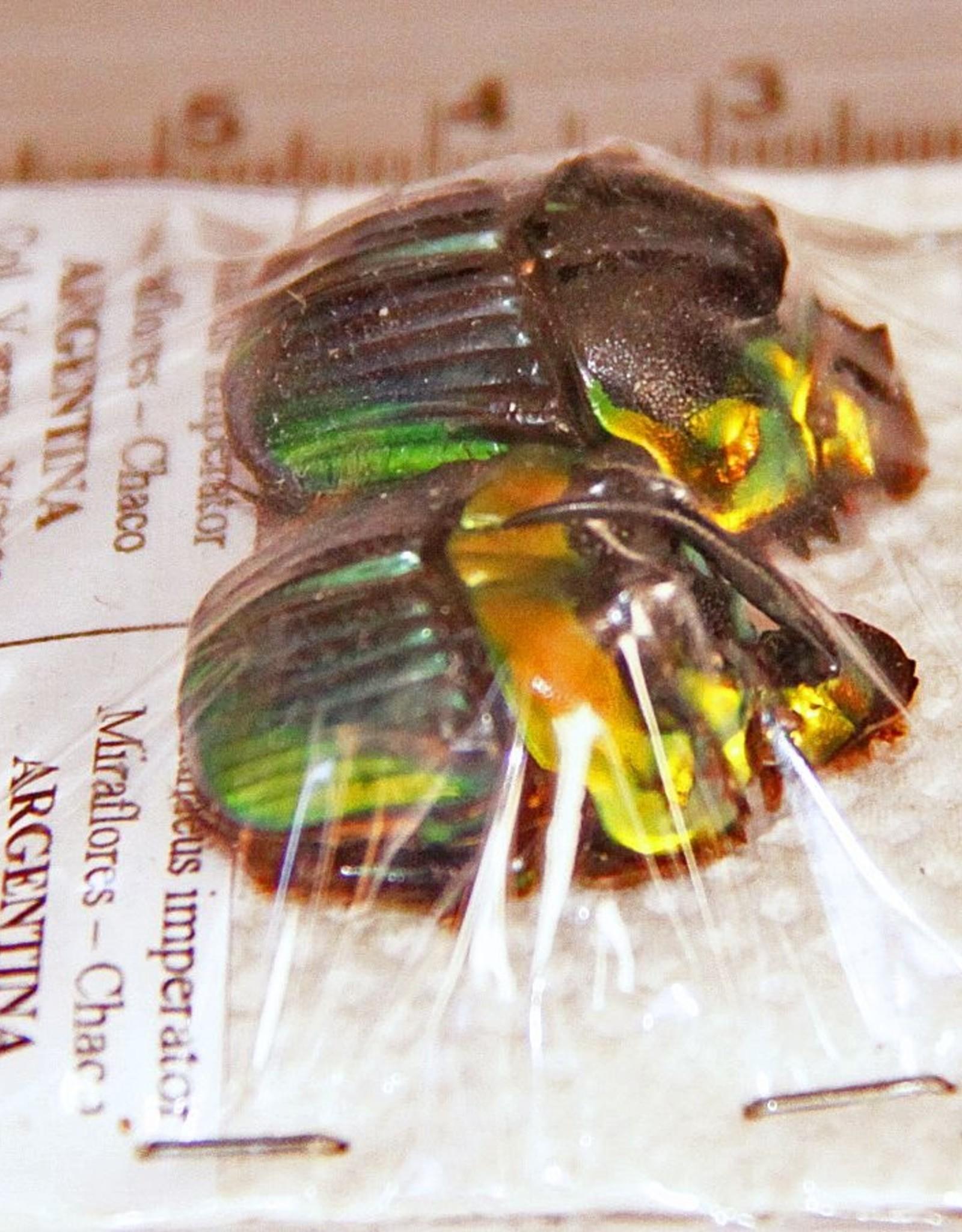 Phanaeus imperator PAIR A1 Argentina 1.5-2.0 cm