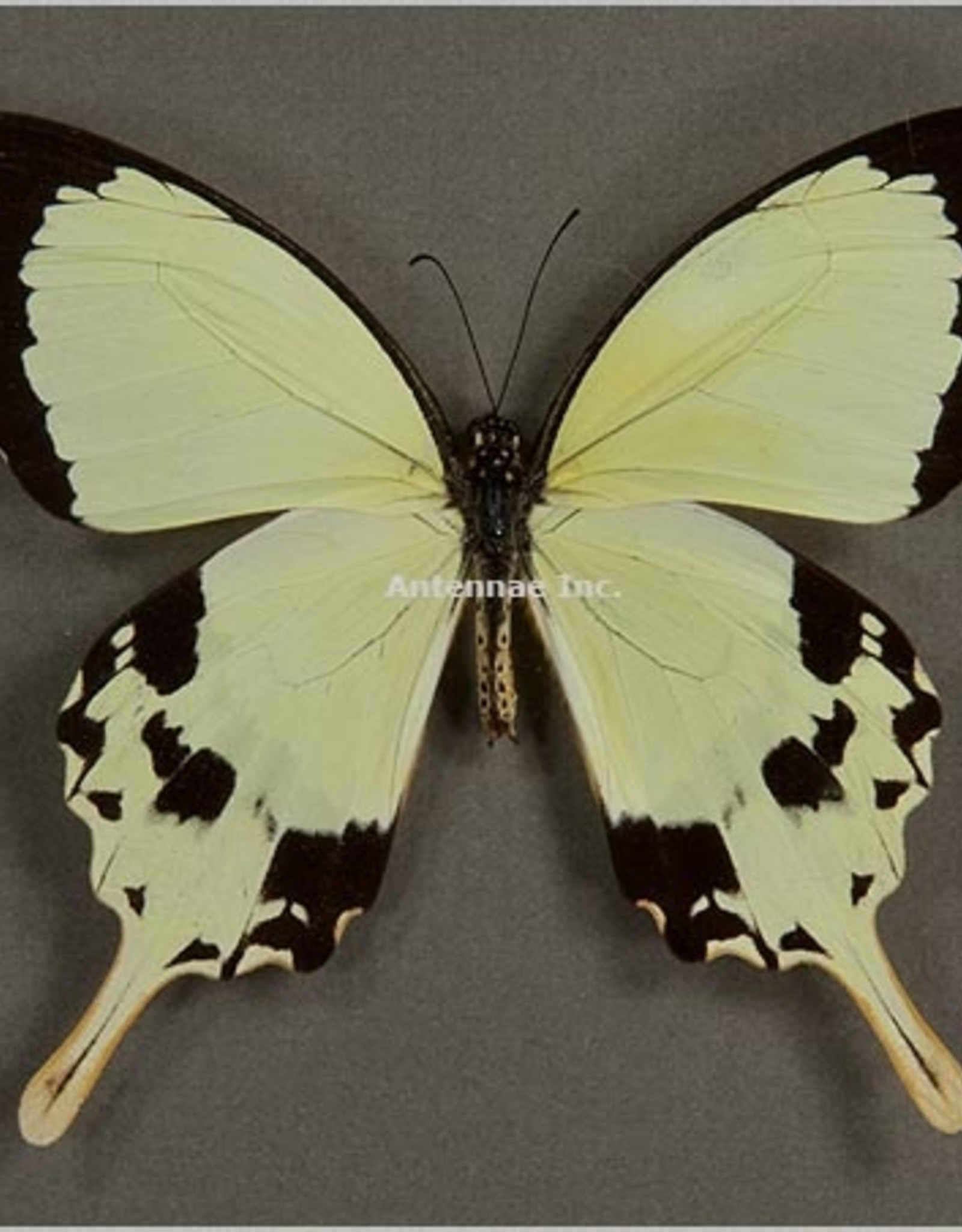 Papilio dardanus dardanus M A1 CAR