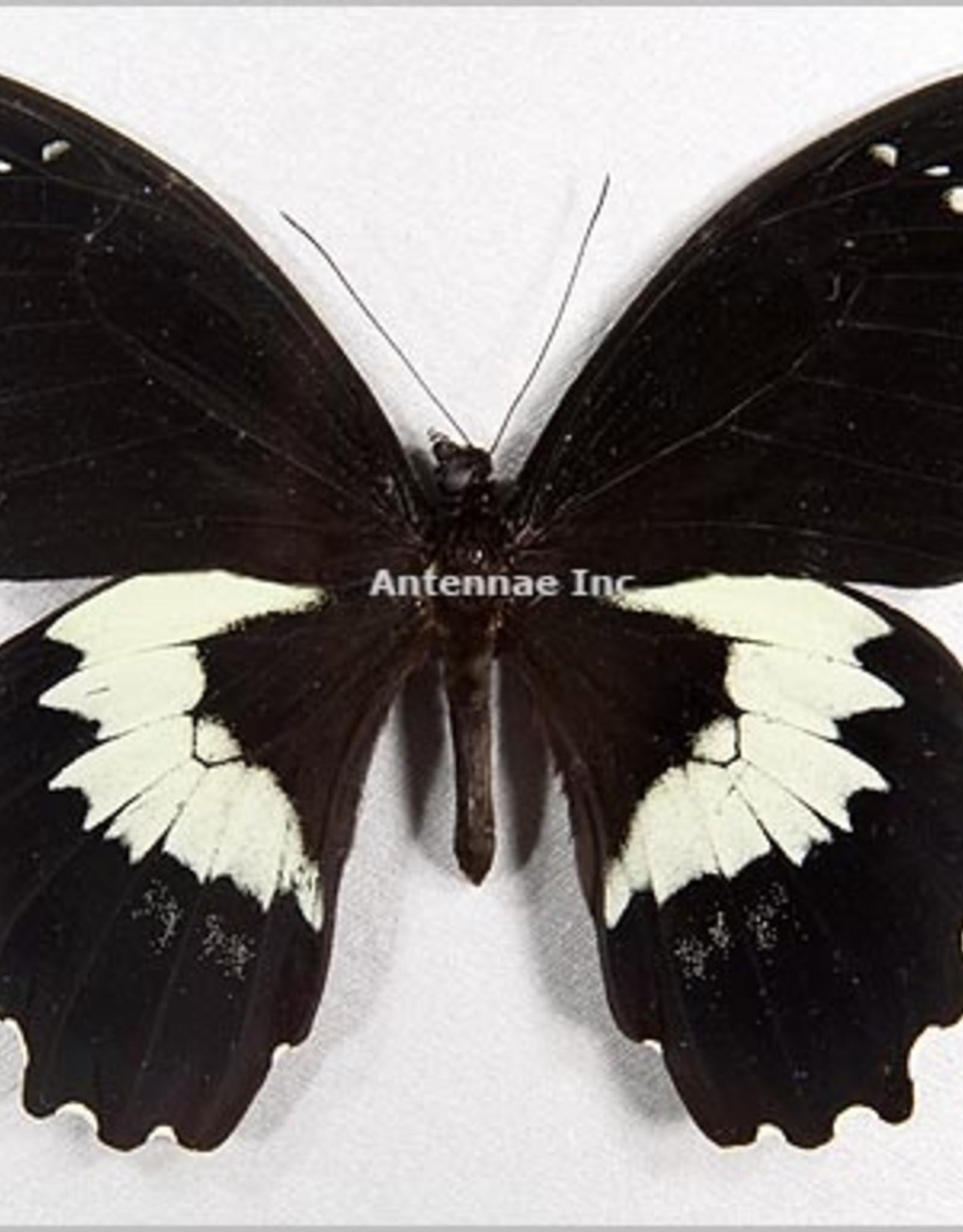 Papilio gambrisus buruanus M A1- Indonesia