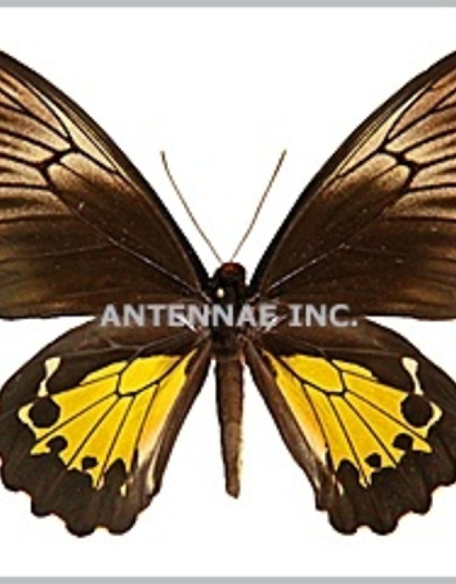 Troides oblongomaculatus papuensis PAIR EP PNG