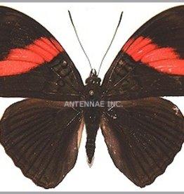 Adelpha lara mainas M A1 Peru