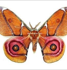 Antheraea suraka M A1 Madagascar