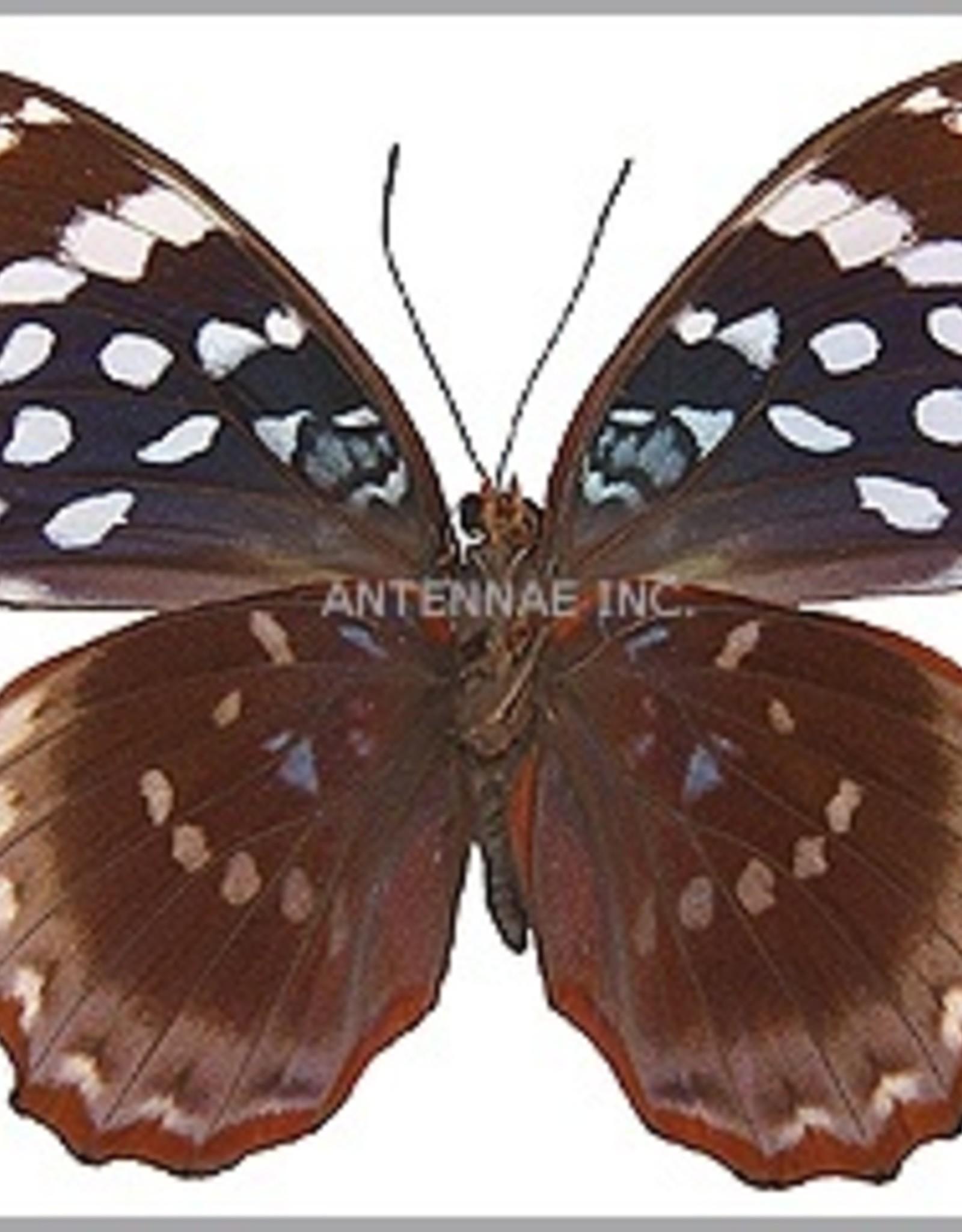 Lexias satrapes amlana (Panay) M A1 Philippines