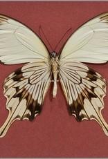 Papilio dardanus meriones M A1 Madagascar