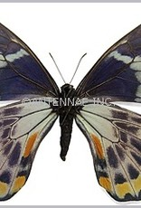 Papilio toboroi PAIR A1/A1- Solomon Islands