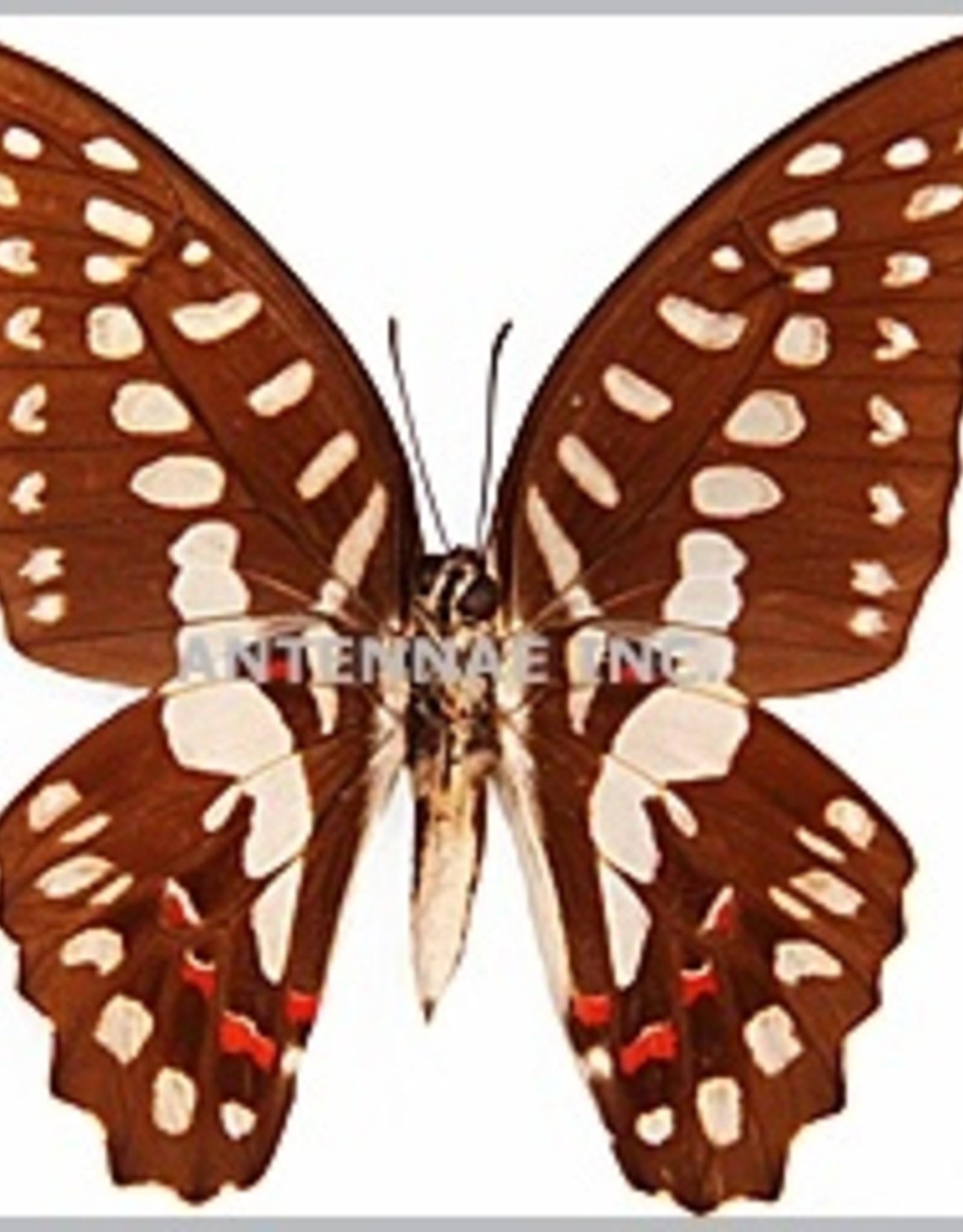 Graphium milon / G. sarpedon anthedon / G. euryplus euryplus MIX M A1 Indonesia