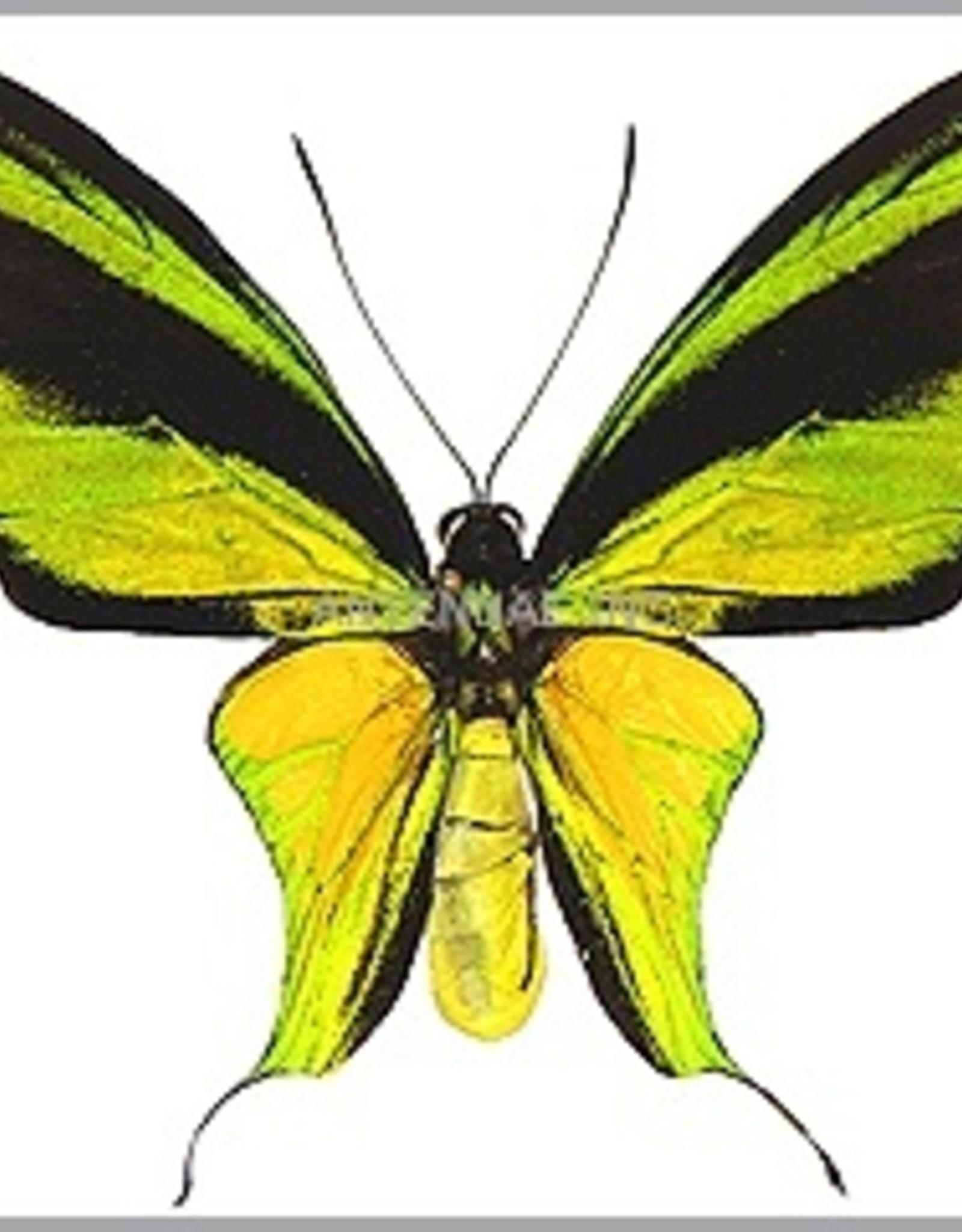 Ornithoptera meridionalis tarunggarensis PAIR A1 Indonesia