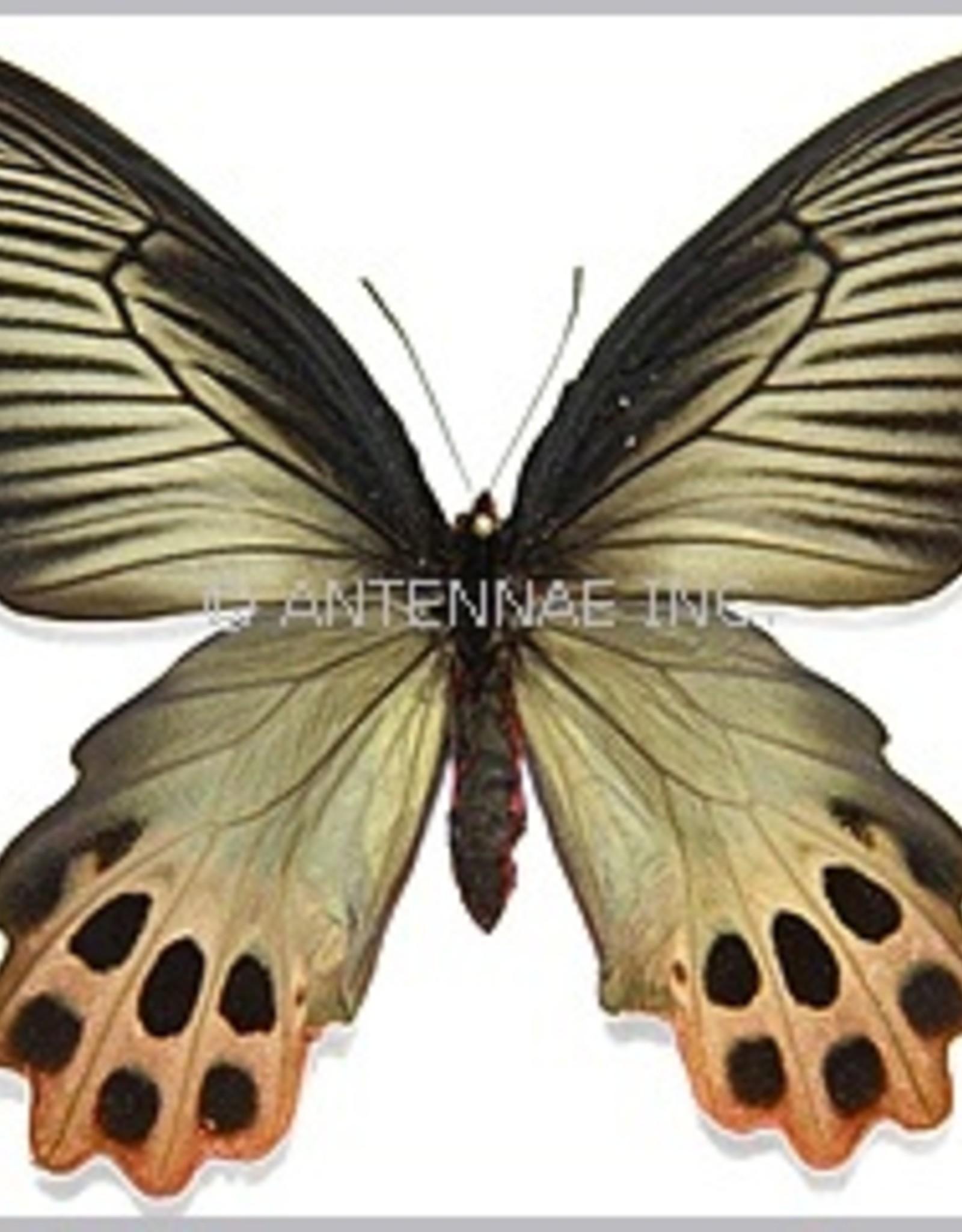 Atrophaneura horishana F A1/A1- Taiwan