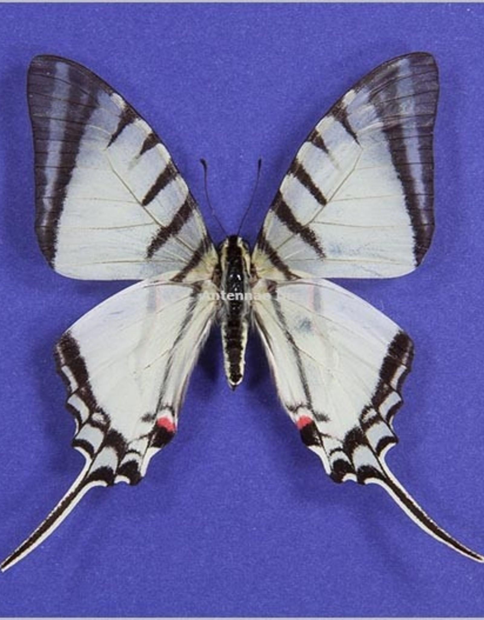Eurytides (Protographium) agesilaus autosilaus M A1 Peru