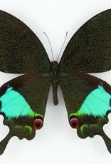 Papilio karna discordia M A1 Indonesia