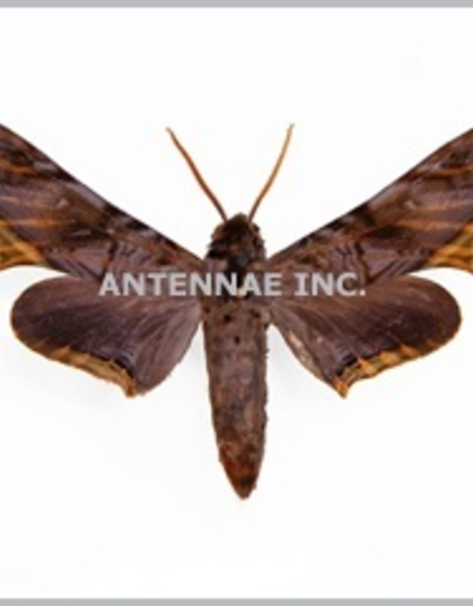 Acanthosphinx guesfeldtii M A1/A1- Cameroon
