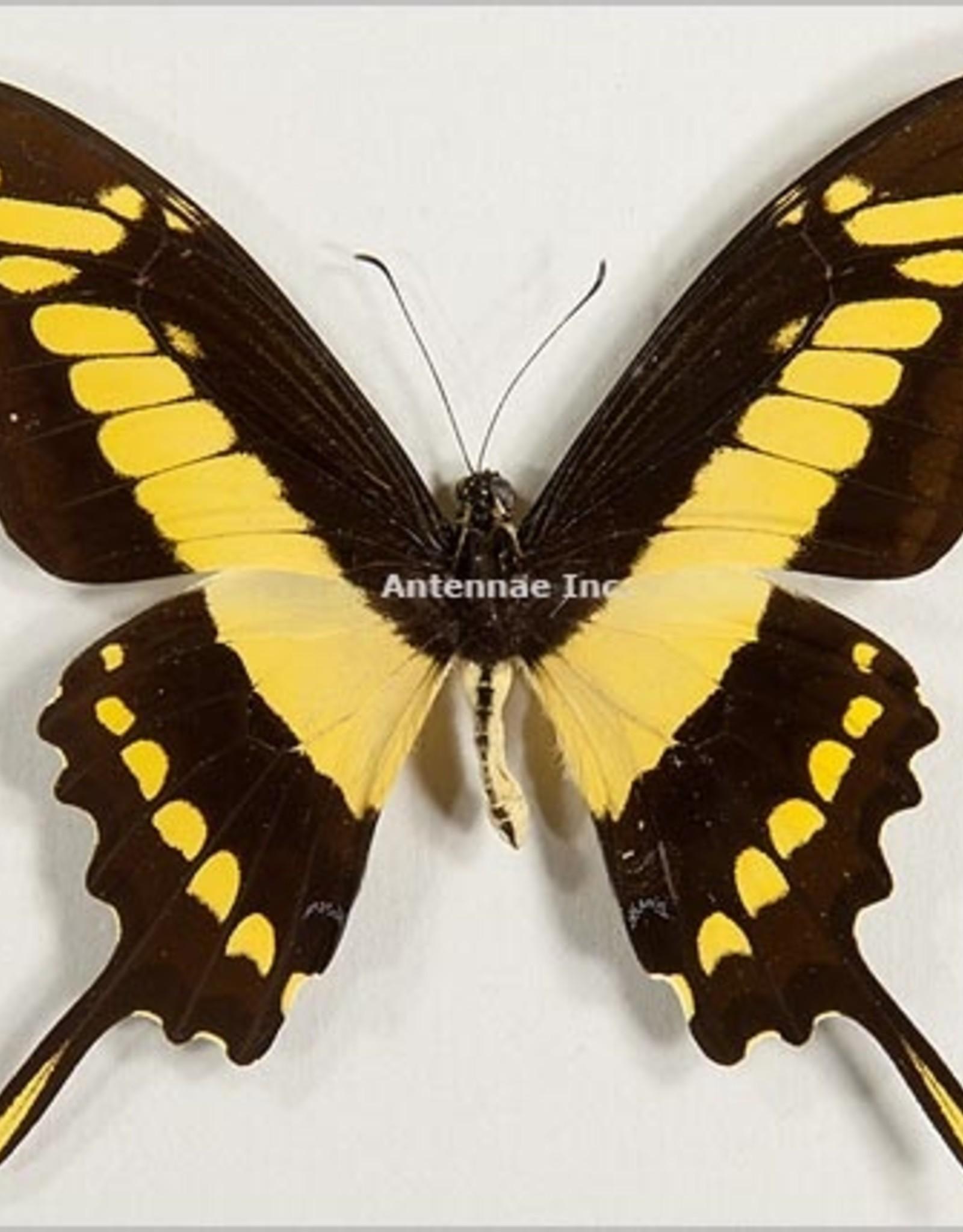 Papilio thoas cynrias F A1 Bolivia