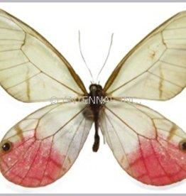Cithaerias merolina / C. phantoma / C. pyropina / C. aurorina M A1 Peru