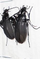Adelocarbus seishinensis seunglaki M A1 South Korea