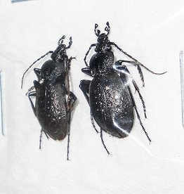 Tomocarabus fraterculus fraterculus M A1 South Korea