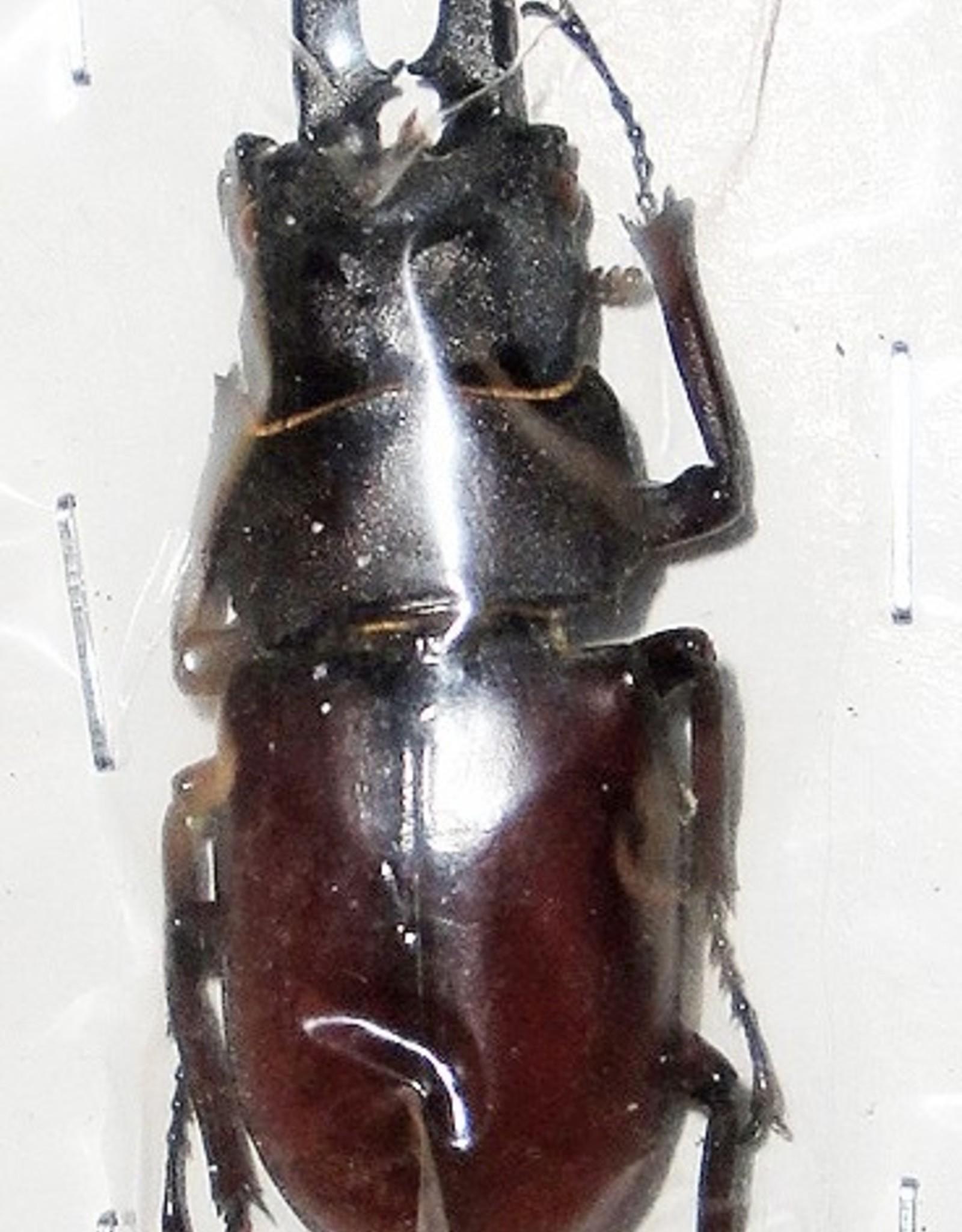 Prosopocoilus blanchardi parry M A1 South Korea 5.1 cm