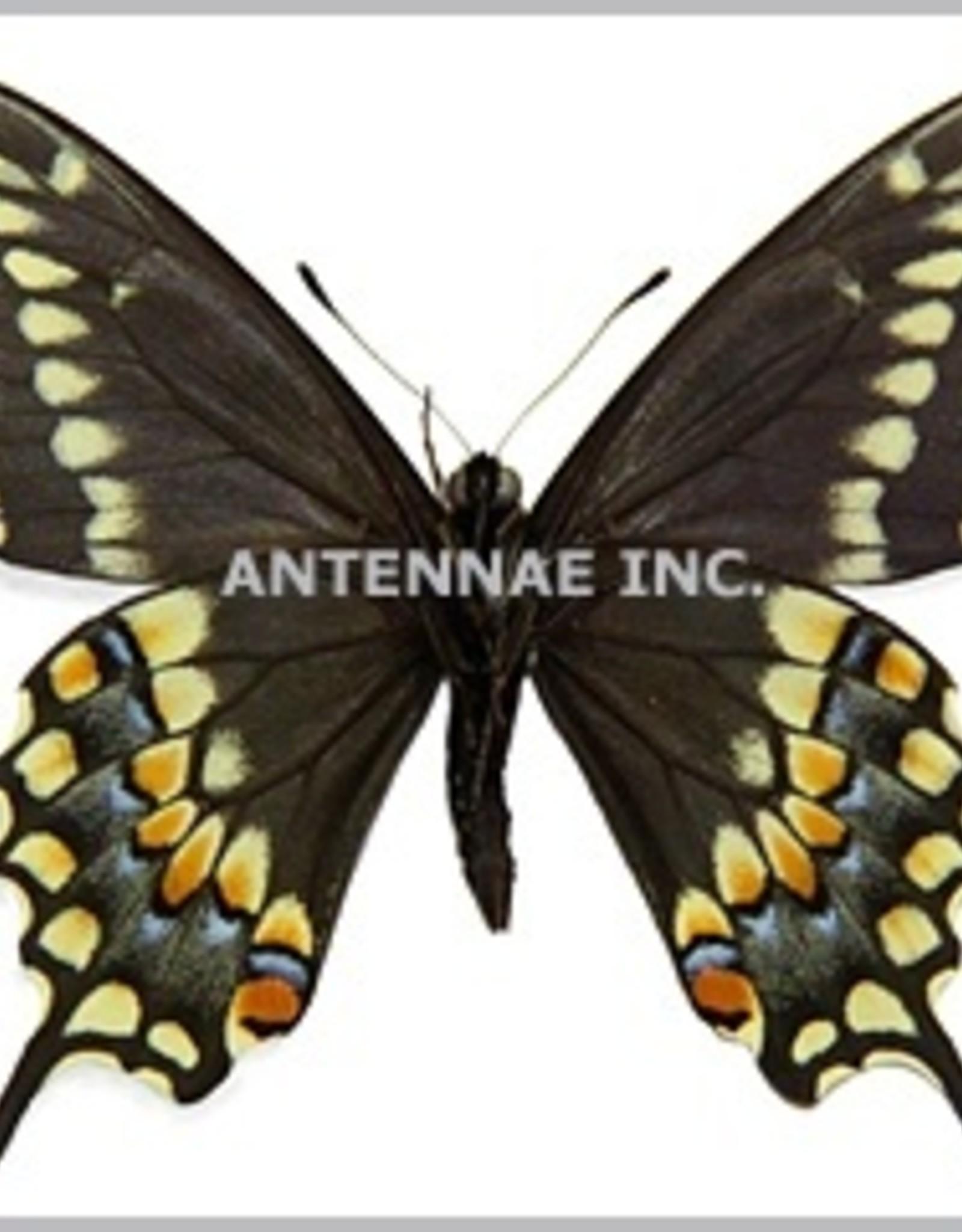 Papilio machaon X Papilio polyxenes PAIR A1 Belgium