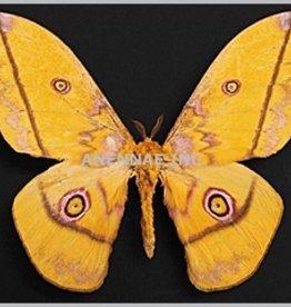 Nudaurelia dione M A1/A1- Cameroon