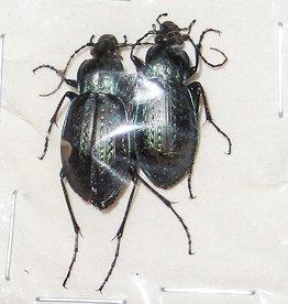 Carabus sternbergi angustus M A1 South Korea