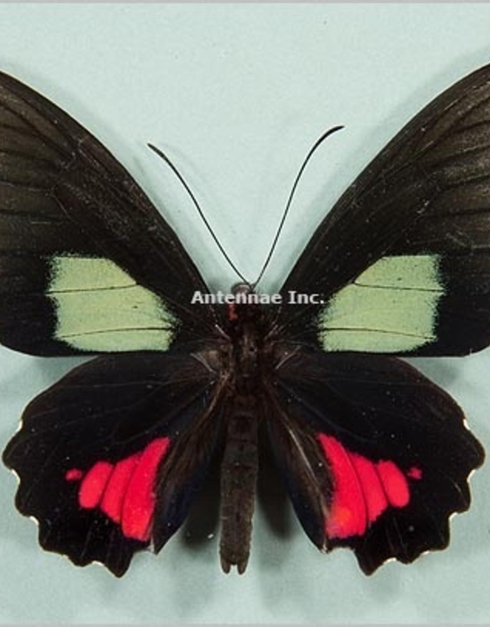 Parides vertumnus autumnus M A1 Peru