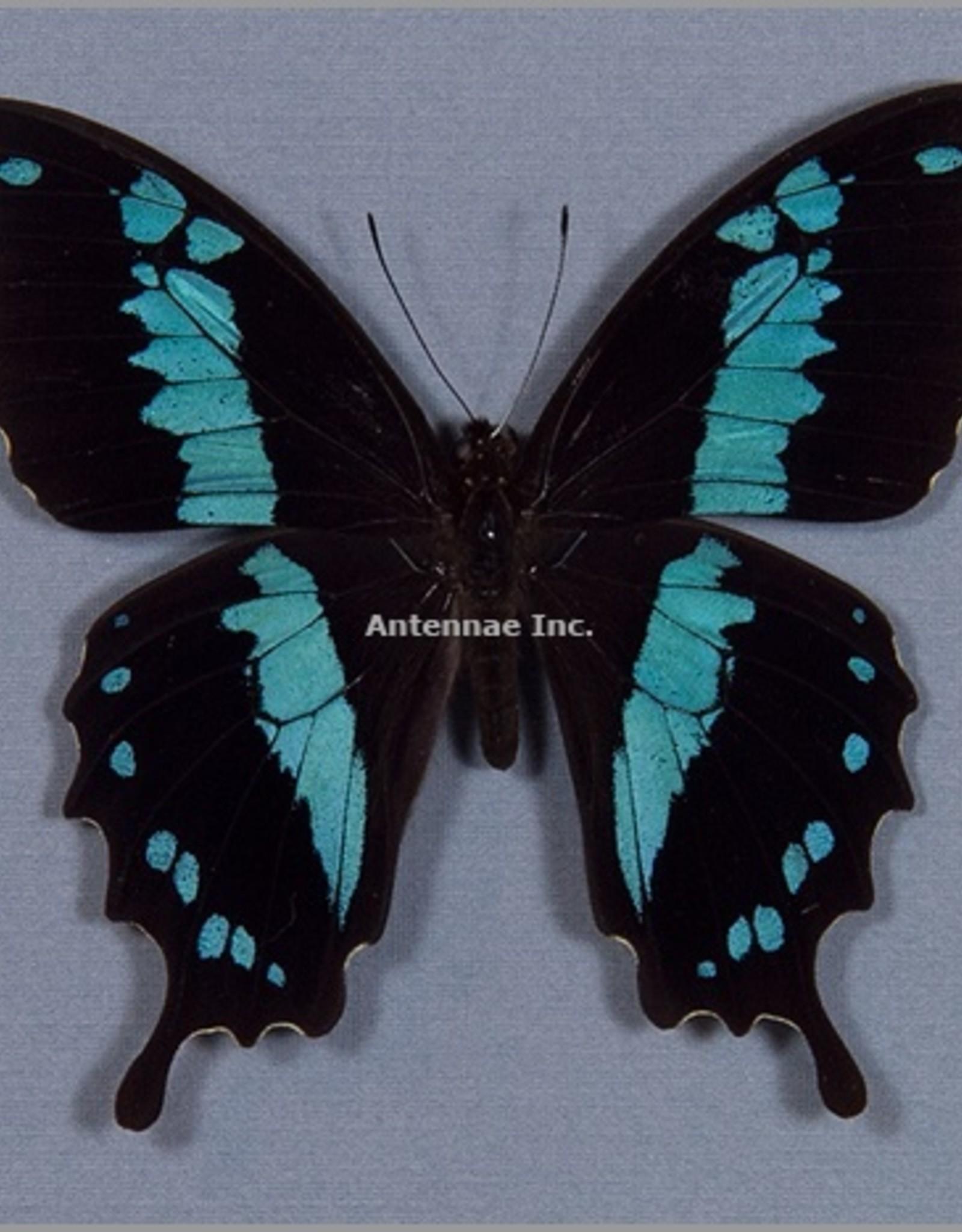 Papilio oribazus M A1 Madagascar