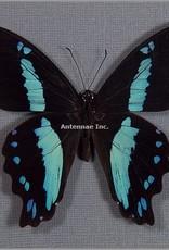 Papilio nireus M A1 CAR