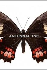 Papilio anchiasades anchiasades M A1 Peru