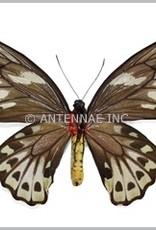 Ornithoptera priamus urvillianus F A1 Solomon Islands