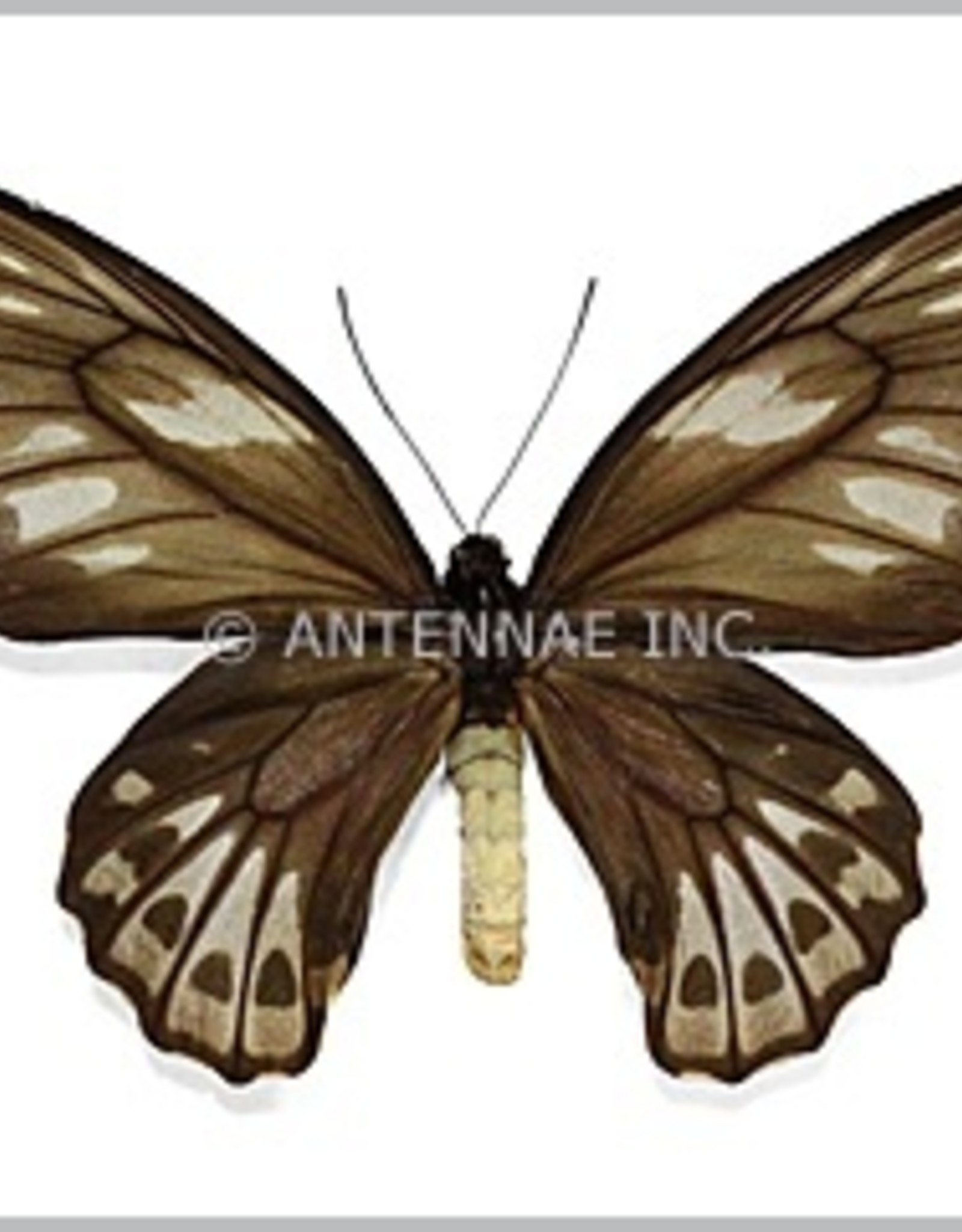 Ornithoptera priamus urvillianus F A1- Solomon Islands