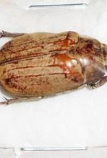 Melolontha incana M A1 South Korea 2.5 cm