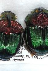 Phanaeus vindex PAIR A1 USA 1.3-1.5 cm