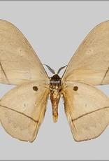 Lobobunaea acetes M A1/A1- Cameroon