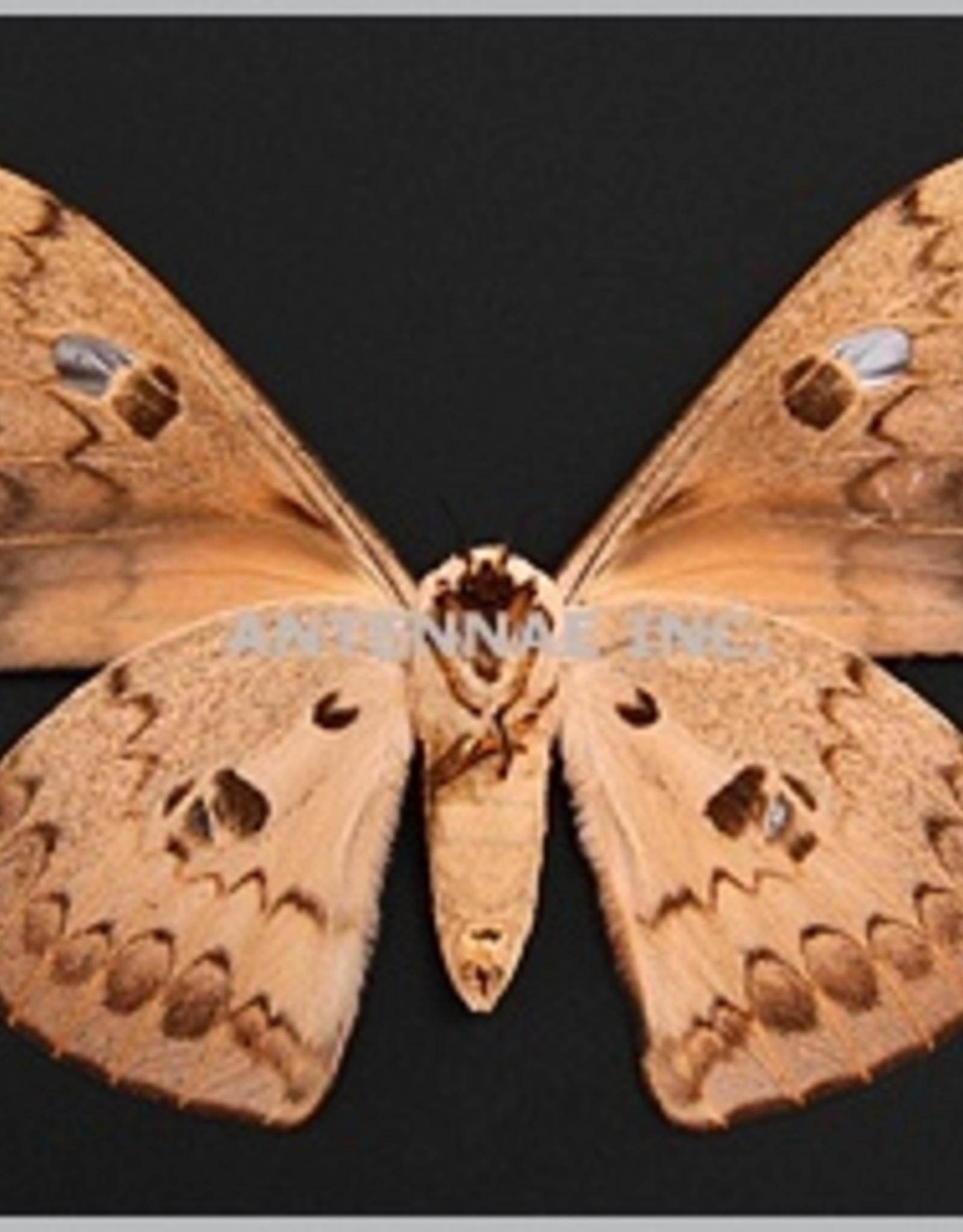 Lobobunaea phaedusa M A1 Cameroon