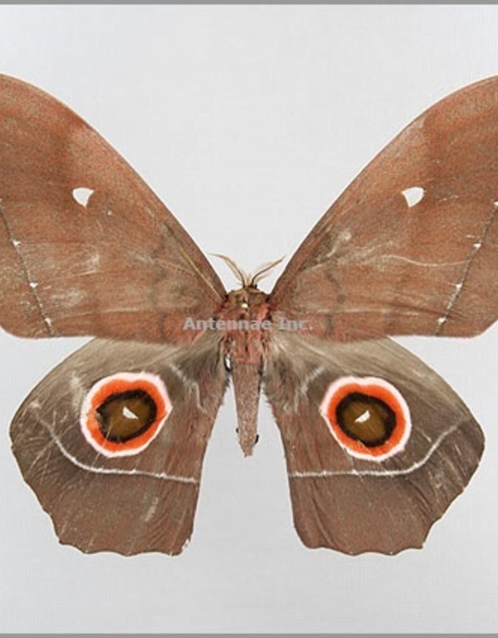 Nudaurelia eblis buchholzi M A1- Cameroon