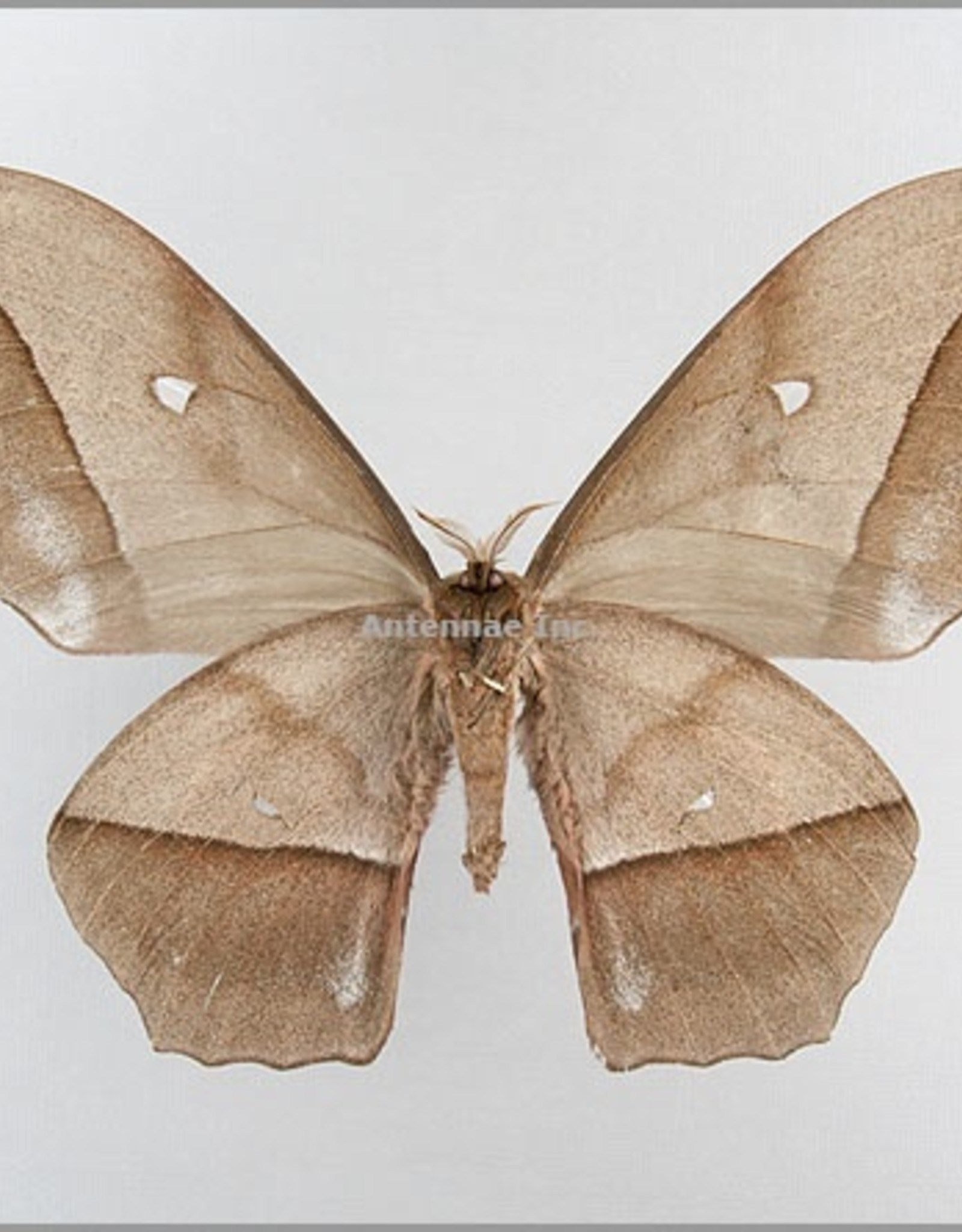 Nudaurelia eblis buchholzi M A1/A1- Cameroon