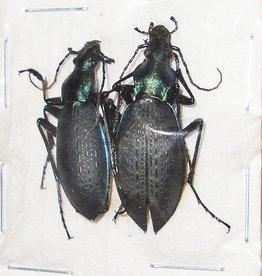 Coptolabrus jankowskii kangwonensis M A1 South Korea