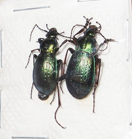 Carabus sternbergi cartereti M A1 South Korea