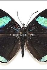 Diaethria clymena / D. euclides / D. neglecta / D. eluina M A1 Peru