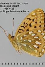 Speyeria mormonia eurynome M A1 Canada