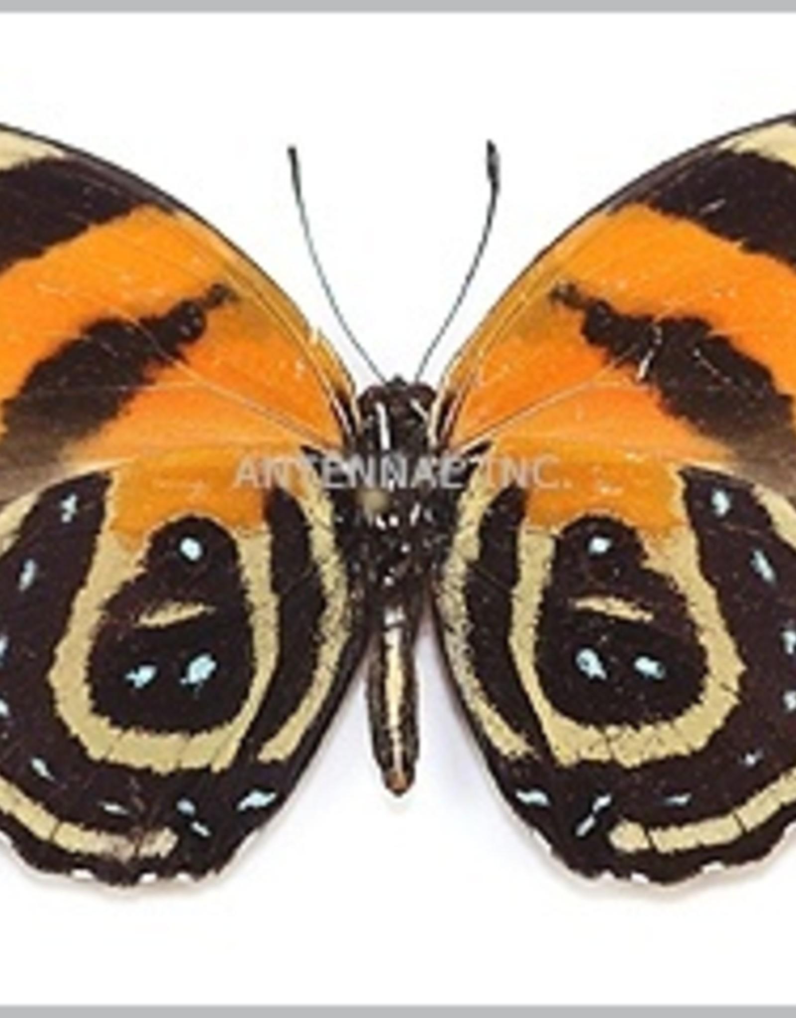 Callicore cynosura M A1 Peru