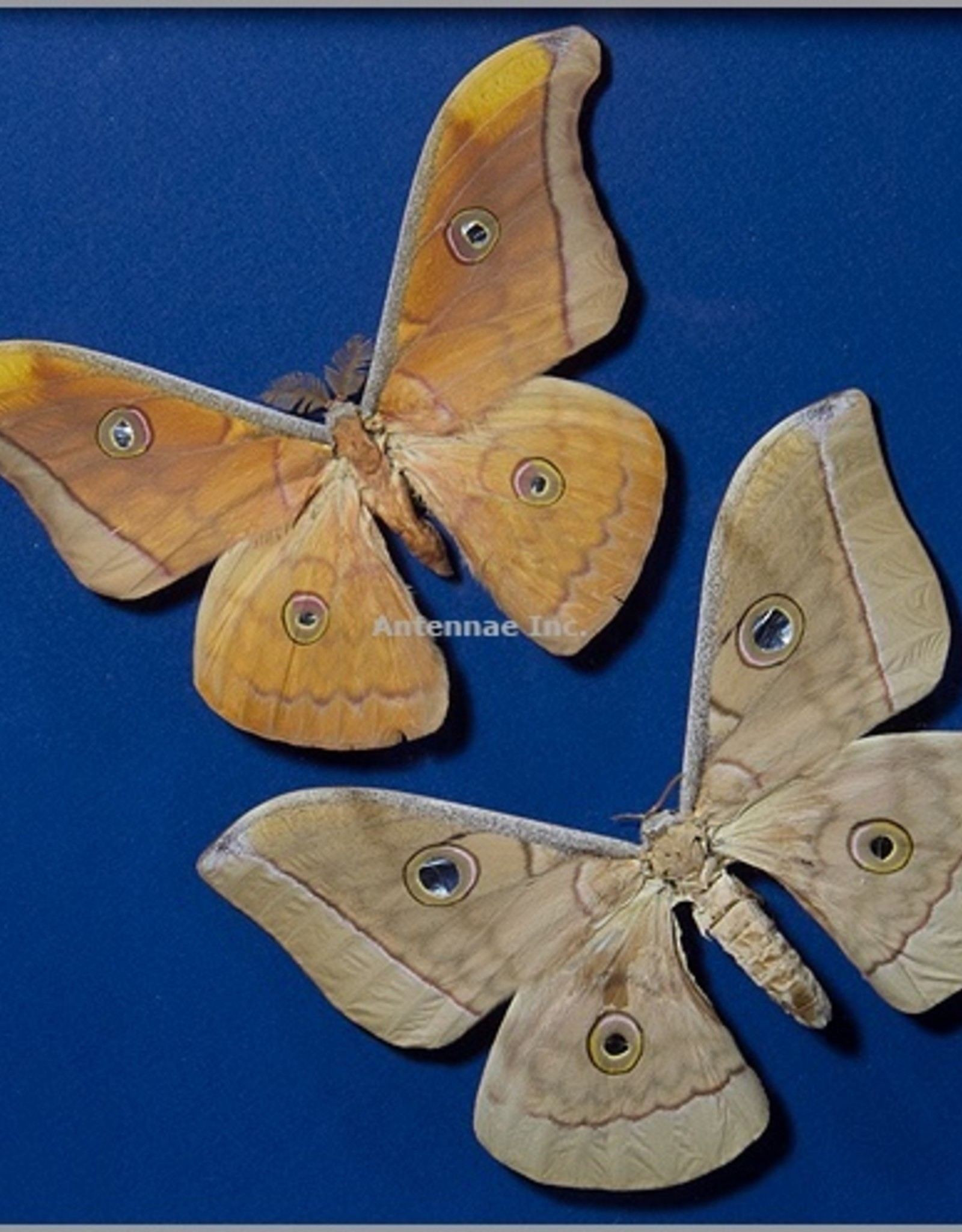 Antheraea frithi pedonculata F A1 Thailand
