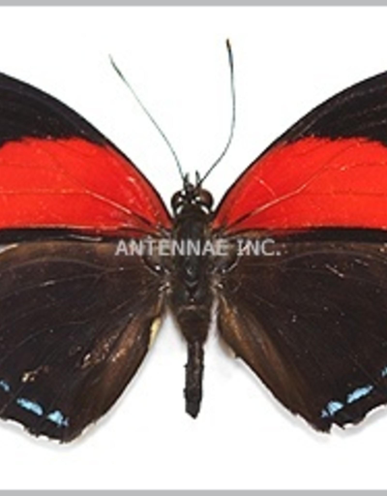 Callicore cyllene cyllene M A1 Peru