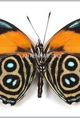 Callicore eunomia f. eunomia M A1 Peru
