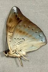 Euthalia merta schoenigi M A1 Philippines