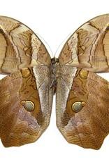 Eryphannis automedon / E. reevesi M A1 Brazil