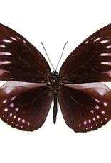 Euploea MIX M A1 Indonesia
